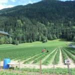 Erdbeerfeld Silz - 2013 Juni