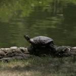 Schildkröte Milano