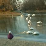 Schwäne essen - Donauufer