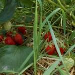 Silz Erdbeerfeld erstmal