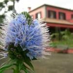 Sao Joa Madeira Blume